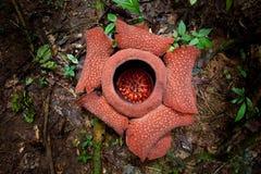 Planta rara de Rafflesia. La flor más grande de los mundos imagen de archivo libre de regalías