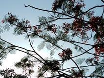 Planta real bonita do poinciana com flores vermelhas foto de stock