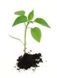 Planta recién nacida en blanco Fotos de archivo libres de regalías
