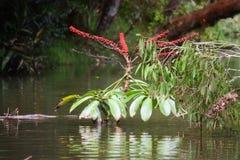 Planta roja Imagen de archivo libre de regalías