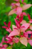 Planta roja con descensos del agua Fotografía de archivo libre de regalías