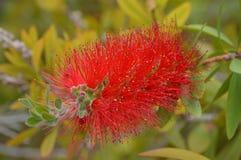 Planta roja de la flor Fotografía de archivo