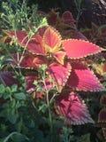 Planta roja del coleo Fotografía de archivo libre de regalías