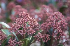 Planta roja del sarampión del japonica del skimmia Foto de archivo