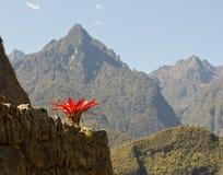 Planta roja en las montañas de Machu Picchu Imagenes de archivo