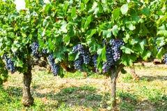 Planta roja francesa de las uvas de vino de AOC, nueva cosecha de la uva de vino adentro imagen de archivo libre de regalías