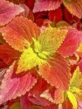 Planta roja y amarilla del coleo Imagenes de archivo
