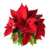 Planta roja y verde de la poinsetia para la Navidad aislada en el fondo blanco Fotos de archivo
