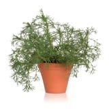 Planta romana da erva da camomila Foto de Stock