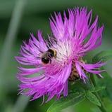 Planta rosada de la cabeza del cardo con la abeja Fotografía de archivo