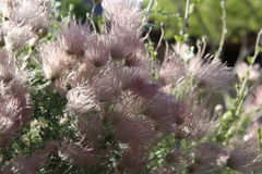Planta rosada de la pluma Fotos de archivo
