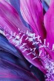Planta rosada del Ti Fotografía de archivo libre de regalías