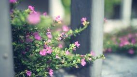 Planta rosada minúscula Fotografía de archivo