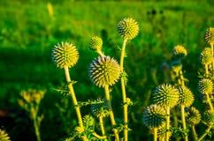Planta roxa espinhosa do campo verde Imagem de Stock