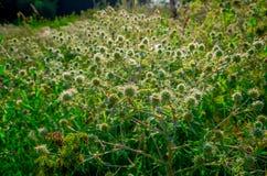 Planta roxa espinhosa do campo verde Fotos de Stock Royalty Free