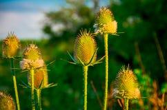Planta roxa espinhosa do campo verde Foto de Stock Royalty Free