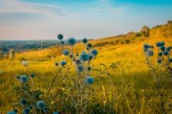 Planta roxa espinhosa do campo verde Imagens de Stock Royalty Free