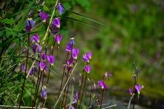 Planta roxa oriental da flor da estrela de tiro Fotos de Stock Royalty Free