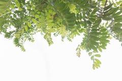Planta sabia, Fotografía de archivo