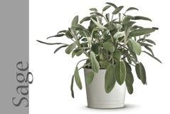 Planta sabia en florero Fotografía de archivo