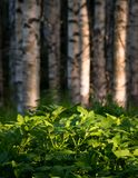 Planta salvaje de la hierba de la anciano de tierra densa en bosque del abedul Fotografía de archivo