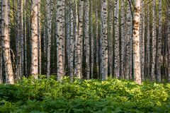 Planta salvaje de la hierba de la anciano de tierra densa en bosque del abedul Fotos de archivo libres de regalías