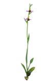 Planta salvaje de la orquídea de abeja - apifera del Ophrys Imágenes de archivo libres de regalías