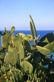 Planta salvaje de la pera espinosa Foto de archivo libre de regalías