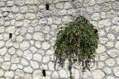 Planta salvaje de las alcaparras contra una pared de piedra Fotos de archivo