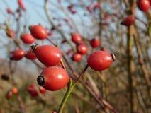 Planta salvaje del canina de Rosa de la cadera color de rosa Escaramujos rojos en naturaleza Imagenes de archivo