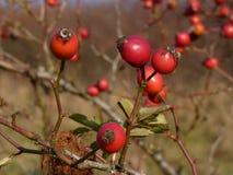 Planta salvaje del canina de Rosa de la cadera color de rosa Escaramujos rojos en naturaleza Fotos de archivo