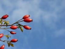 Planta salvaje del canina de Rosa de la cadera color de rosa Escaramujos rojos en naturaleza Fotografía de archivo libre de regalías