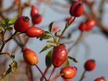 Planta salvaje del canina de Rosa de la cadera color de rosa Escaramujos rojos en naturaleza Imagen de archivo libre de regalías