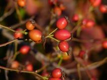 Planta salvaje del canina de Rosa de la cadera color de rosa Escaramujos rojos en naturaleza Foto de archivo