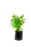 Planta santa medicinal de la albahaca aislada Imágenes de archivo libres de regalías