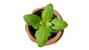 Planta santamente da manjericão Foto de Stock Royalty Free