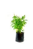 Planta santamente medicinal da manjericão isolada Imagens de Stock Royalty Free