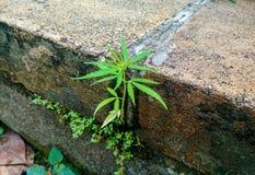 Planta sativa do cannabis pequeno em uma parede de tijolo velha imagens de stock royalty free