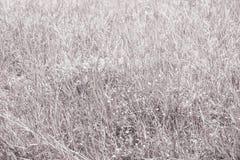 Planta seca blanca de la naturaleza de la fantasía de la hierba Imagen de archivo libre de regalías