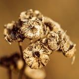 Planta seca de Brown del fondo Imagen de archivo