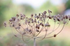 Planta seca del eneldo Imagenes de archivo