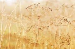 Planta seca del eneldo en campo Foto de archivo libre de regalías