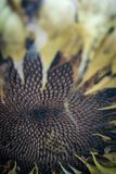 Planta seca del girasol con las semillas Foto de archivo libre de regalías