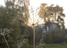 Planta seca do aneto contra o céu do por do sol imagem de stock royalty free