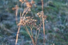 Planta seca em um fundo azul-castanho Imagem de Stock