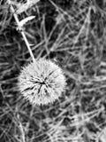 Planta seca sob a forma de uma bola fotografia de stock royalty free