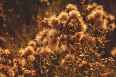 Planta secada no fundo do prado do por do sol Fotografia de Stock