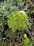 Planta selvagem Imagem de Stock