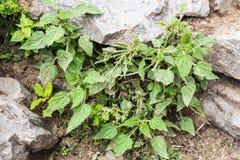 A planta selvagem da provocação é abundante ao longo do passeio na montanha de caminhada a Annapurna Nepal Dor pungente se contac Imagens de Stock