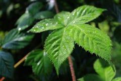 Planta selvagem de Blackberry após a chuva Fotos de Stock Royalty Free